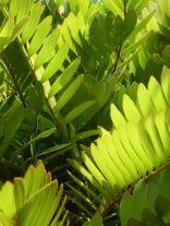 Cardboard fern, Zamia furfuracea