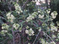 Shin cracker, Psydrax oleifolius, Goondiwindi