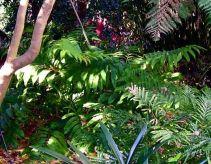 Female Stangeria eriopus, Sydney
