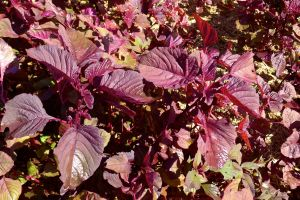 Amaranthus 'Mekong Red' Chinese spinach