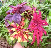 Amaranthus tricolor 'Flying Colours'