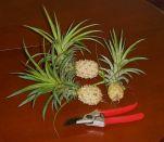 Ananas nanus dwarf pineapple