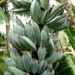 banana, Musa x sapientum 'Java Blue'