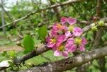 Acerola aka Barbados cherry, Malpighia emarginata
