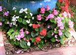 Bedding begonia, Begonia semperflorens