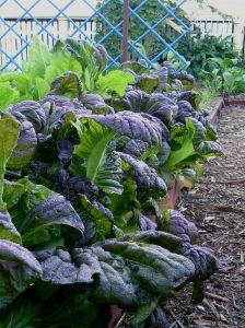 mustard, Brassica juncea Osaka Purple