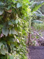 Snake bean, Vigna ungulata