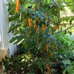 Chilli, Capsicum annuum 'Siam Gold'