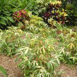 Cassava, aka tapioca, Manihot esculenta 'Variegatum'