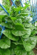 Ceylon spinach, Basella alba