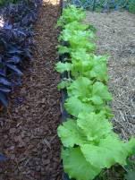 Chinese cabbage, Brassica rapa var. pekinensis 'Tokyo Bekana'
