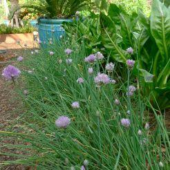 chives, Allium schoenoprasum