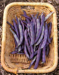 climbing bean, Phaseolus vulgaris Purple King