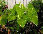 Cocoyam, Xanthosoma saggitifolia Lime Zinger