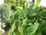 Cocoyam, Xanthosoma saggitifolia