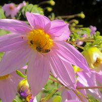 Honeybee and stingless bee co-working Dahlia imperialis