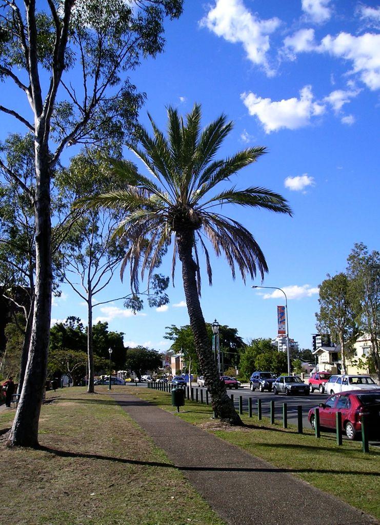 Date palm Phoenix dactylifera