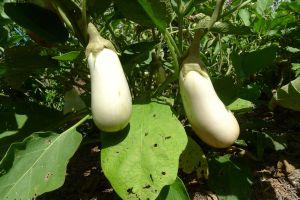 Eggplant, Solanum melongena 'Caspar'