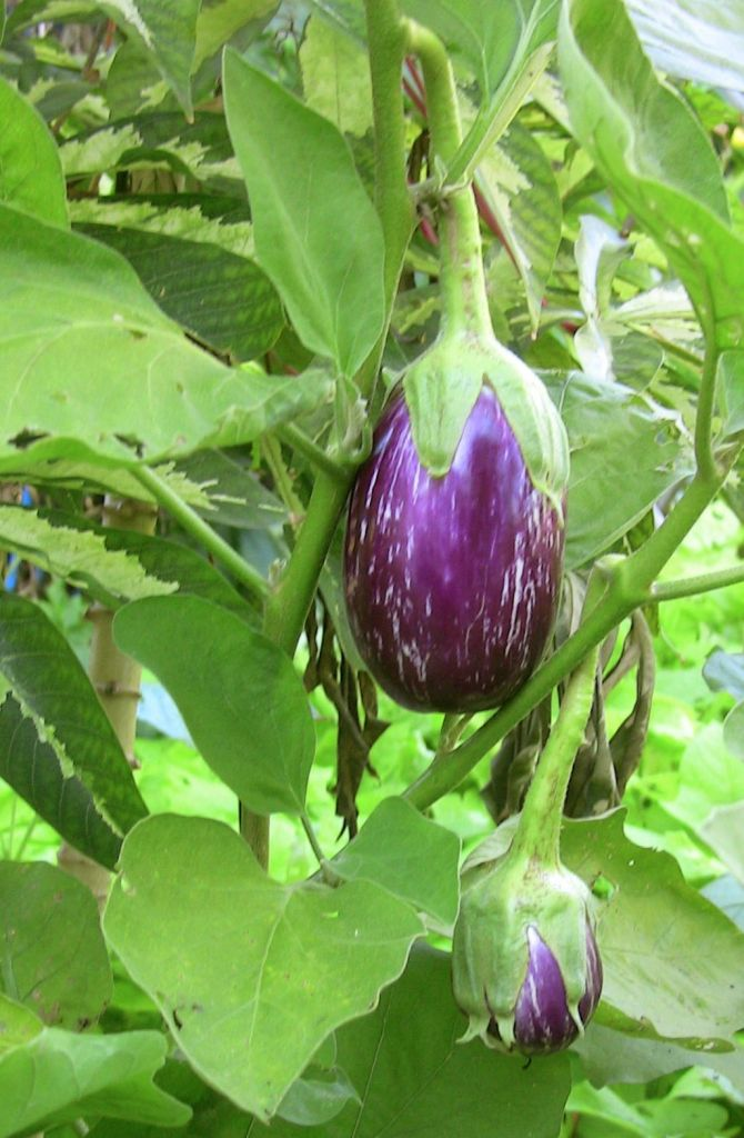 eggplant Solanum melongena 'Listada de Gandia'