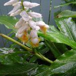 false cardamon, Alpinia nutans