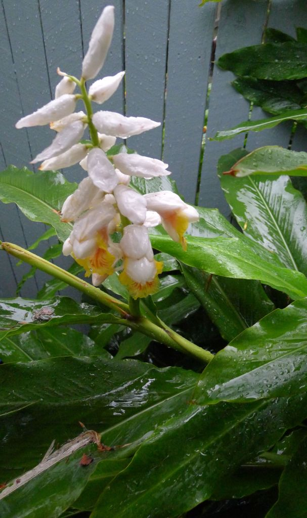 false cardamon, Alpinia nutans