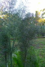 Fennel, Foeniculum vulgare 'Purpureum'