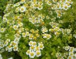Feverfew, Chrysanthemum parthenium