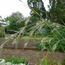 flowering native lemongrass, Cymbopogon ambiguus