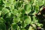 Four Seasons herb, Plectranthus amboinicus 'Variegatus'