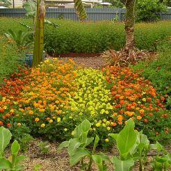 French marigold, Tagetes patula