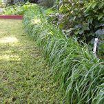 garlic chives Allium tuberosum