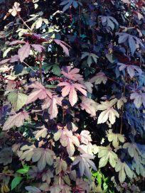 Cranberry hibiscus, Hibiscus acetosella
