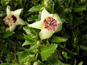 Philip Island hibiscus, Hibiscus insularis