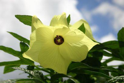 Hibiscus/ Island spinach, Abelmoschus manihot