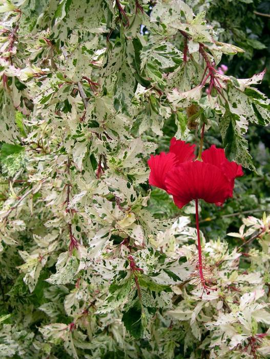 Hibiscus 'Snow Queen' . All Hibiscus flowers can be made into tea