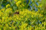 Blooming mizuna, Brassica juncea var. japonica 'Red'
