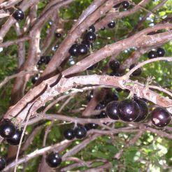 Jaboticaba, aka Tree grape, Plinia cauliflora, syn Myrcia jaboticaba