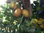 Jackfruit, Artocarpus heterophyllus