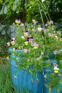 Heartsease can flower for over a year in my garden