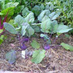 Kohl rabi, Brassica oleracea 'Purple Vienna'