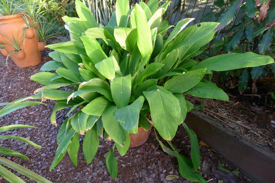 Krachai, Boesenbergia rotundifolia