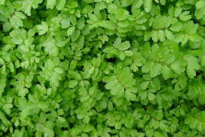 Lebanese cress, Aethionema coridifolium