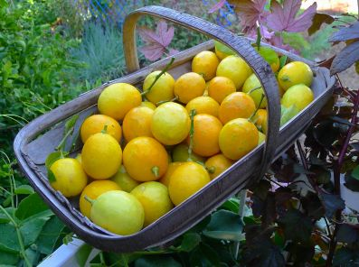 Lemon, Citrus x limon 'Meyer'