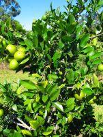 Lemonade tree, Citrus limon x reticulata