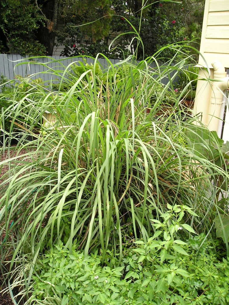 lemongrass, Cymbopogon flexuosus