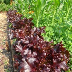 lettuce, Lactuca sativa 'Royal Purple Oak Leaf'