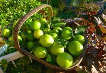 Lime, Citrus latifolia 'Tahitian'