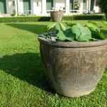Lotus, Nelumbo nucifera, Grand Palace, Bangkok (not grown at Bellis)
