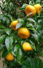 Mandarin, Citrus reticulata 'Parramatta Sweets'