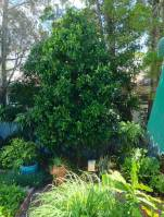 Native plum, Black apple, Planchonella australis